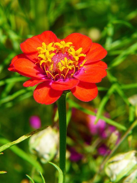 Zinnia, Red, Flower Meadow, Summer Flower, Composites