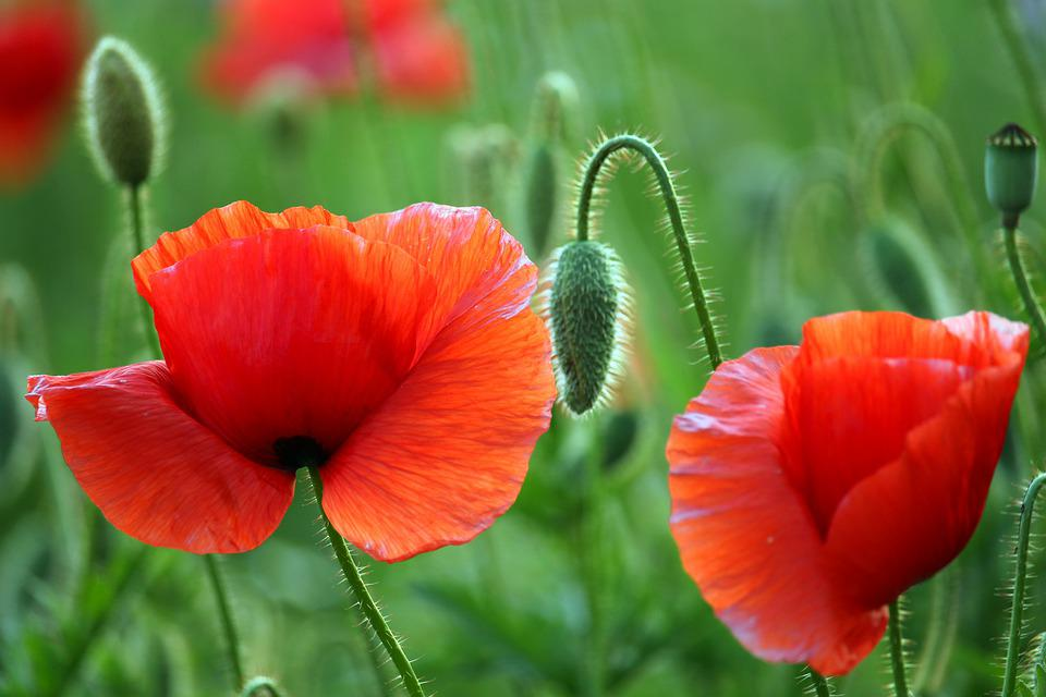 Flower Meadow, Klatschmohn, Nature, Poppy, Red, Summer