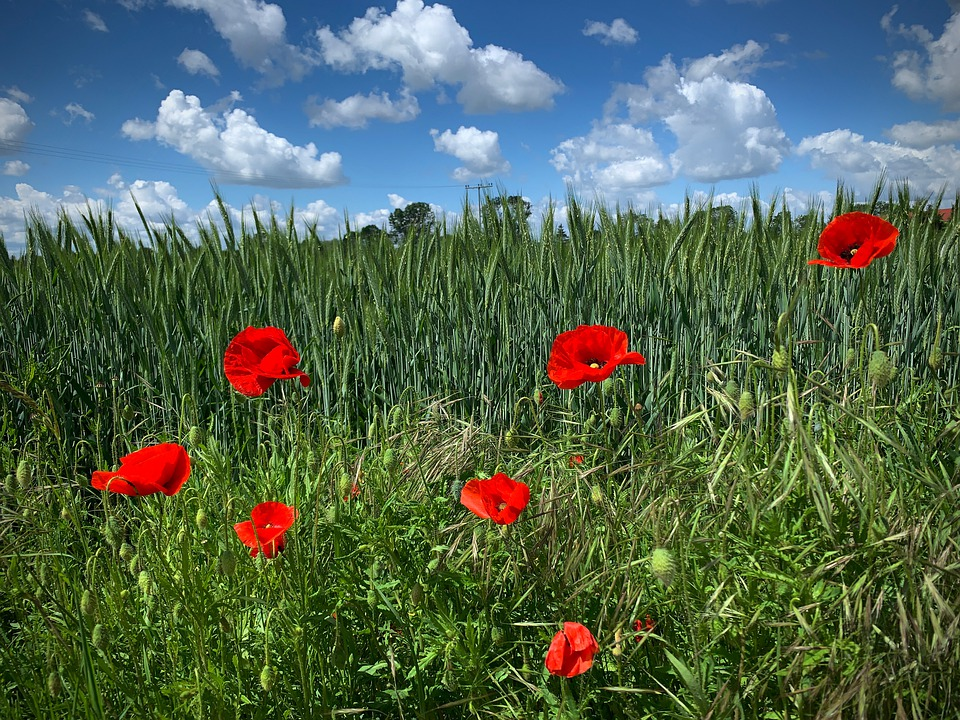 Poppy, Meadow, Summer, Flower Meadow, Field Of Poppies