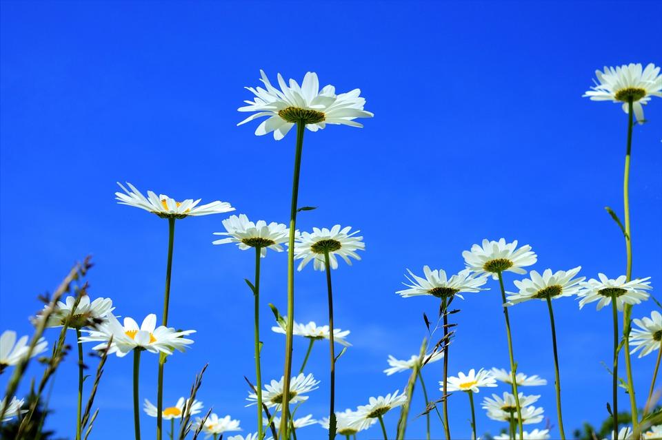 Marguerite, Meadows Margerite, Flower, Bloom, Plant
