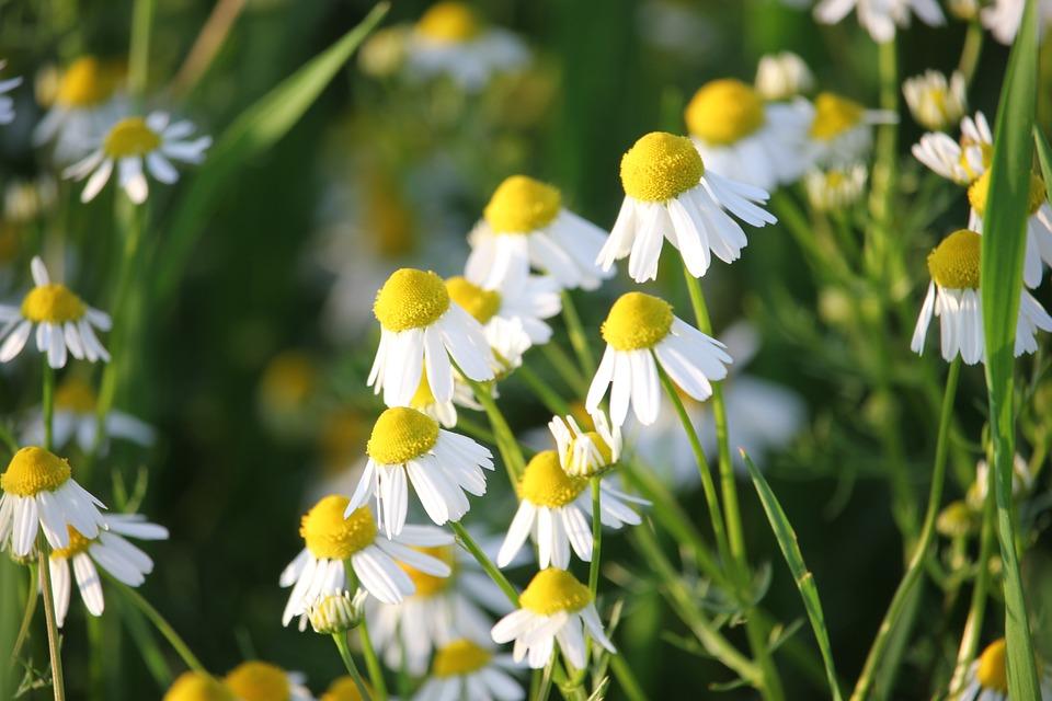 Matricaria Chamomilla, Herb, Flower, Medical, Nature