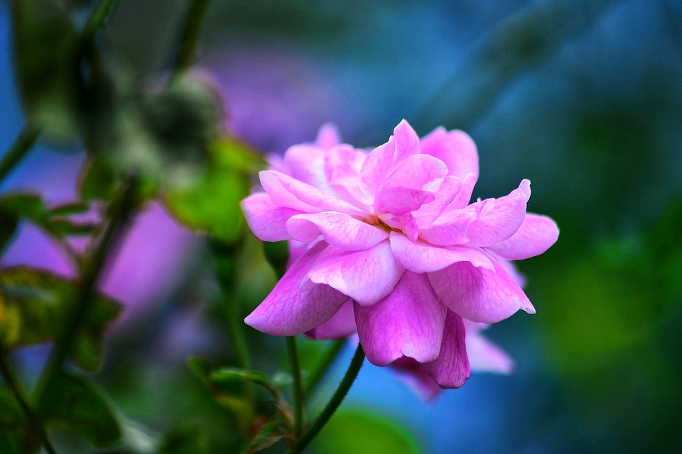 Rose Flower, On The Tree, Most Beautiful, Flower