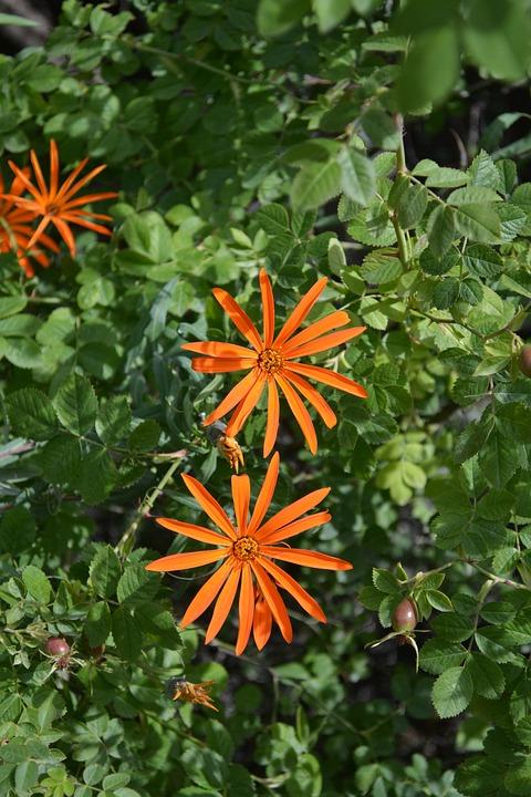 Asteraceae, Mutisia, Flower