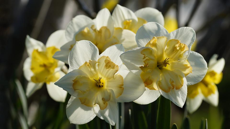 Flower, Plant, Nature, Narcissus, Daffodil, Close Up