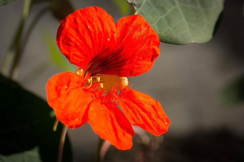 Nasturtium, Cress, Blossom, Bloom, Flower, Bloom, Calyx