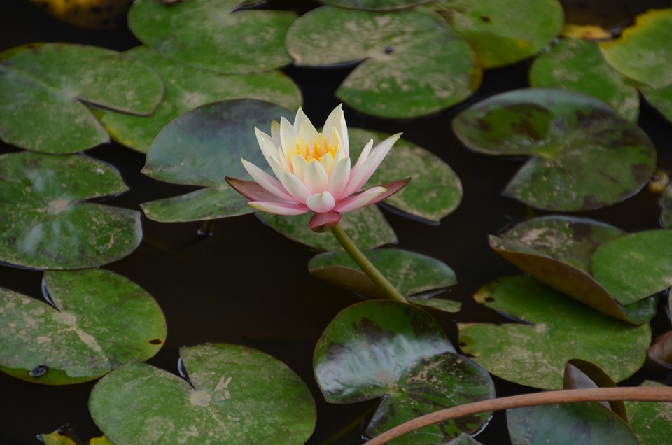 Lotus, Flower, Water Lily, Floral, Plant, Natural