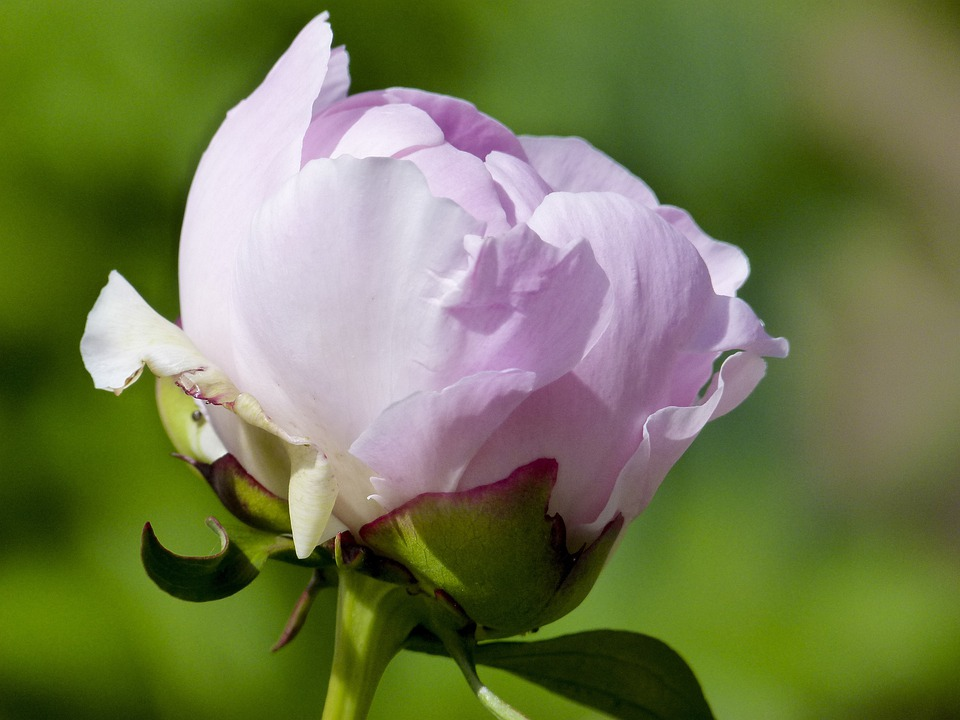 Rhododendron, Abloom, Blooming, Flower, Pink, Nature