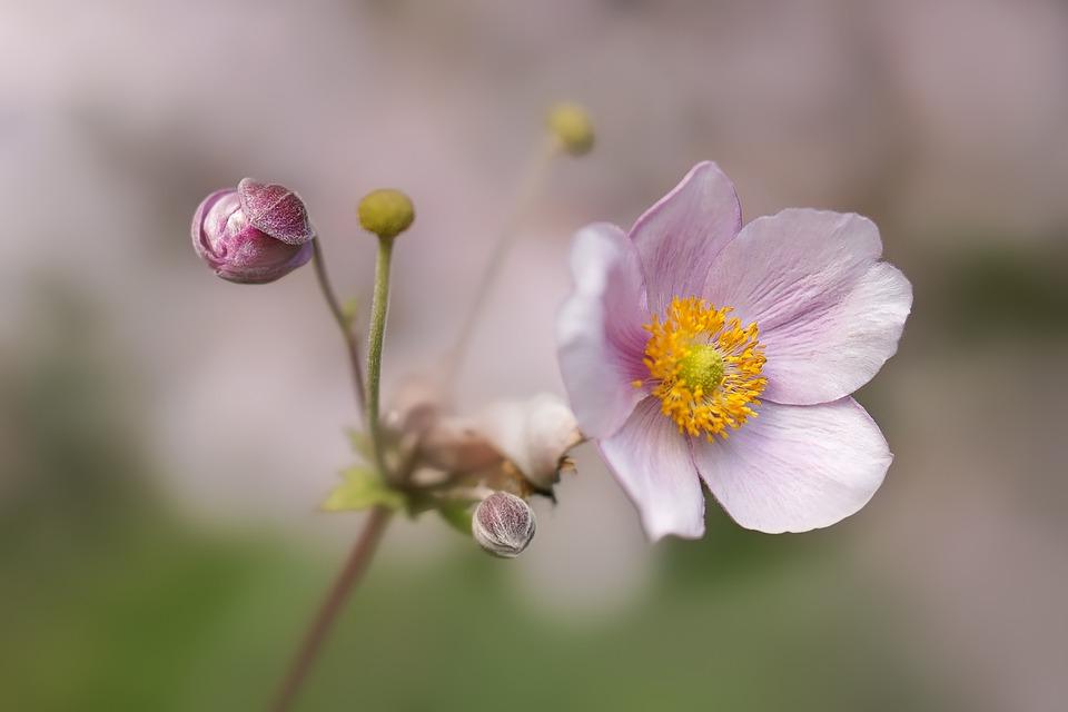 Flower, Anemone, Bloom, Blossom, Nature, Garden, Flora