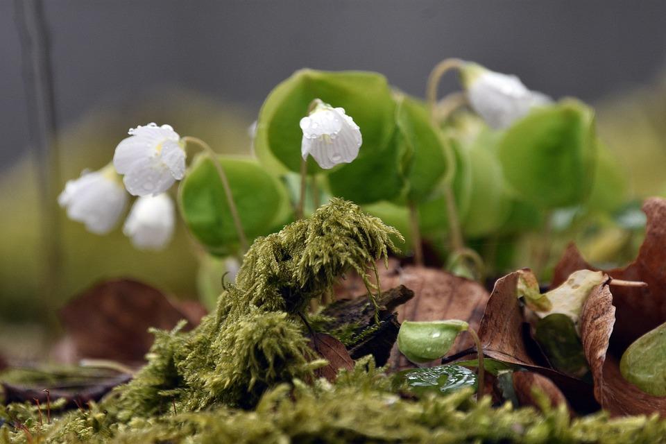 Anemone, Spring, Flower, Flowers, White, Nature