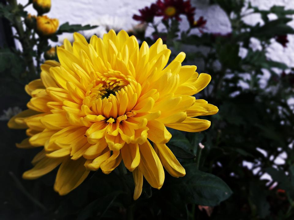 Free photo flower nature beauty yellow autumn flowers max pixel flower autumn yellow flowers nature beauty mightylinksfo