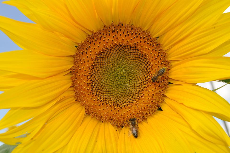 Sun Flower, Bee, Nature, Yellow, Plant, Flower