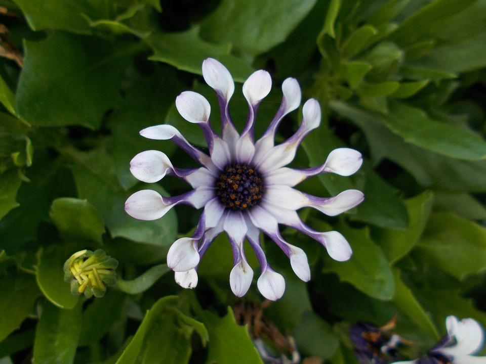 Cape Basket, Nature, Flower, Bornholm Marguerite, Bloom