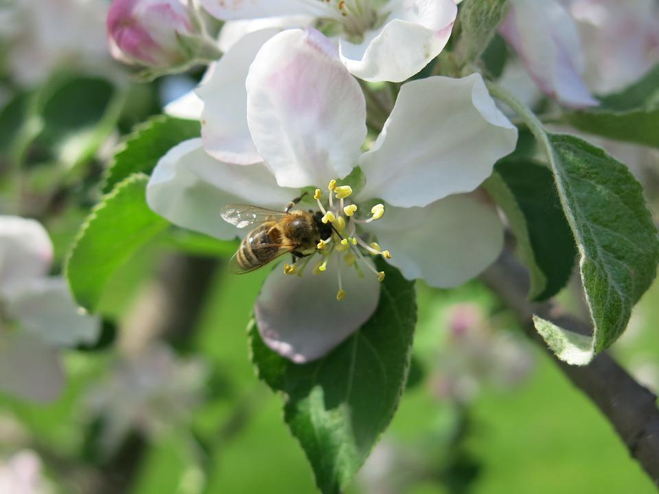 Bee, Blossom, Apple, Flower, Nature, Spring, Honey