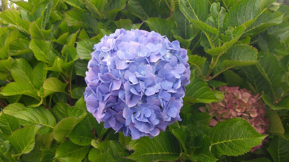 Hydrangea, Flower, Blue, Beautiful, Nature, Floral