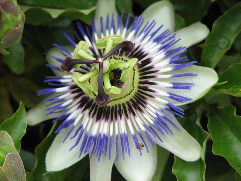 Flower, Summer, Nature, Blue Passionflower