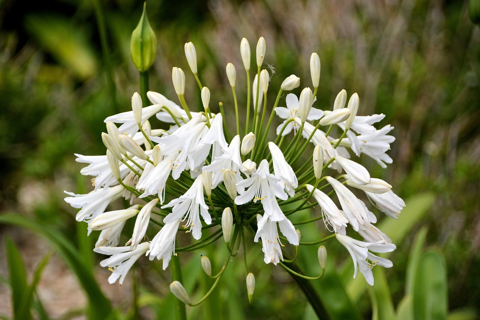 Flower, Decorative Onion, Plant, Flora, Nature, Botany