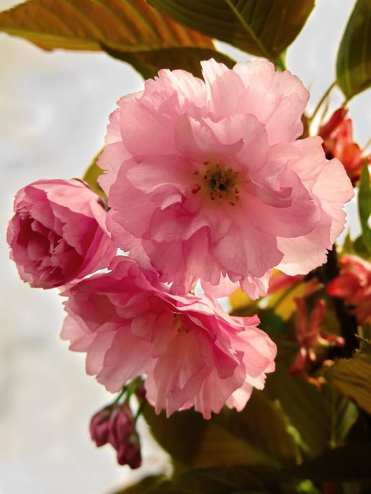 Flower, Spring, Cherry, Nature, Colorful, Blooming