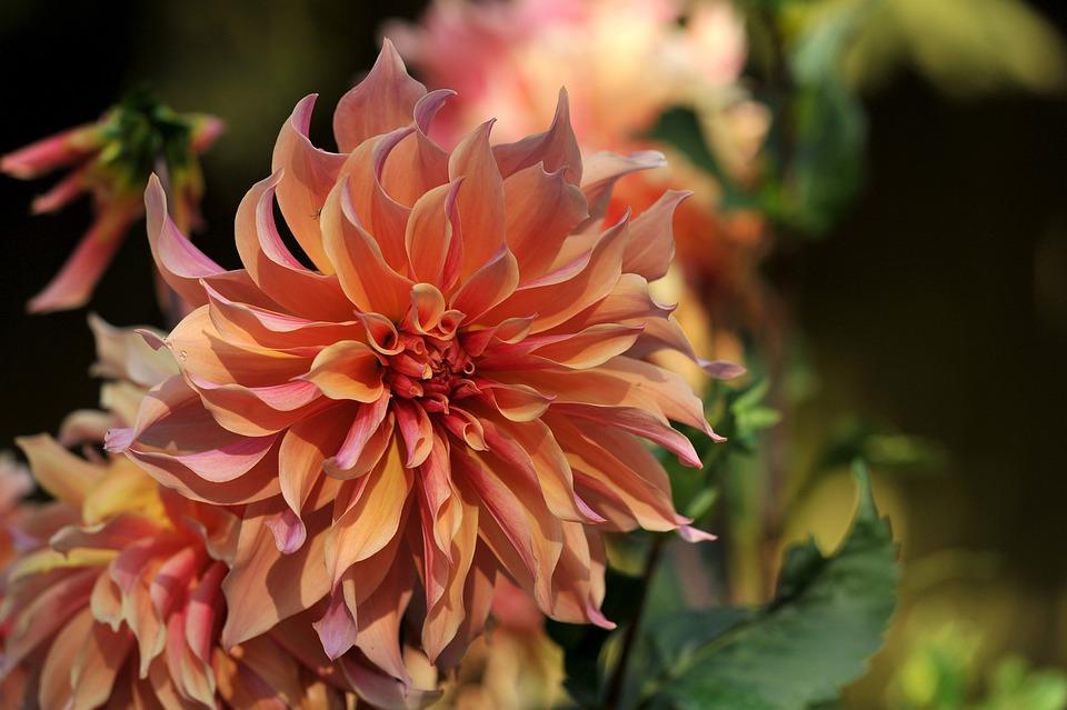 Dahlia, Flower, Plant, Nature, Composites, Garden Plant