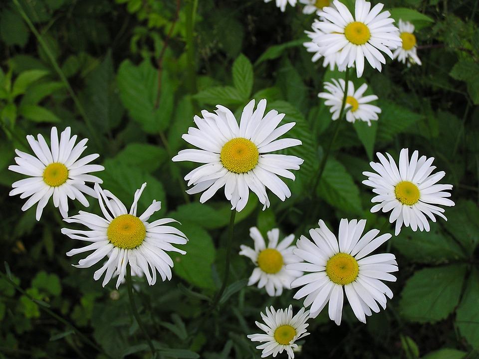 Daisy, Flower, Nature, Summer