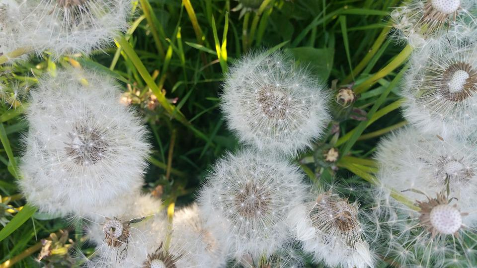 Dandelion, Dandelions, Seeds, Nature, Flower