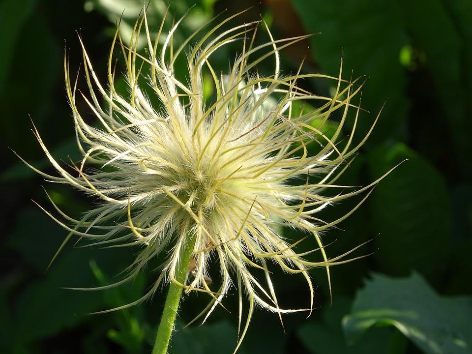 Flower, Ephemeral, Nature, Plants, Lightness, Garden
