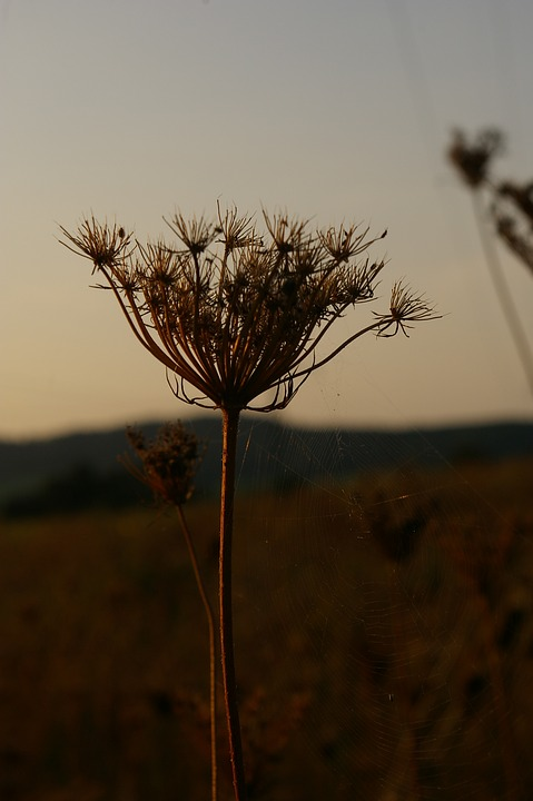 Evening, Evening Light, Flower, Abendstimmung, Nature