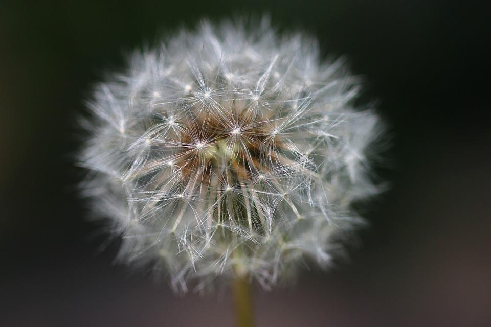 Nature, Flower, Faded Dandelion