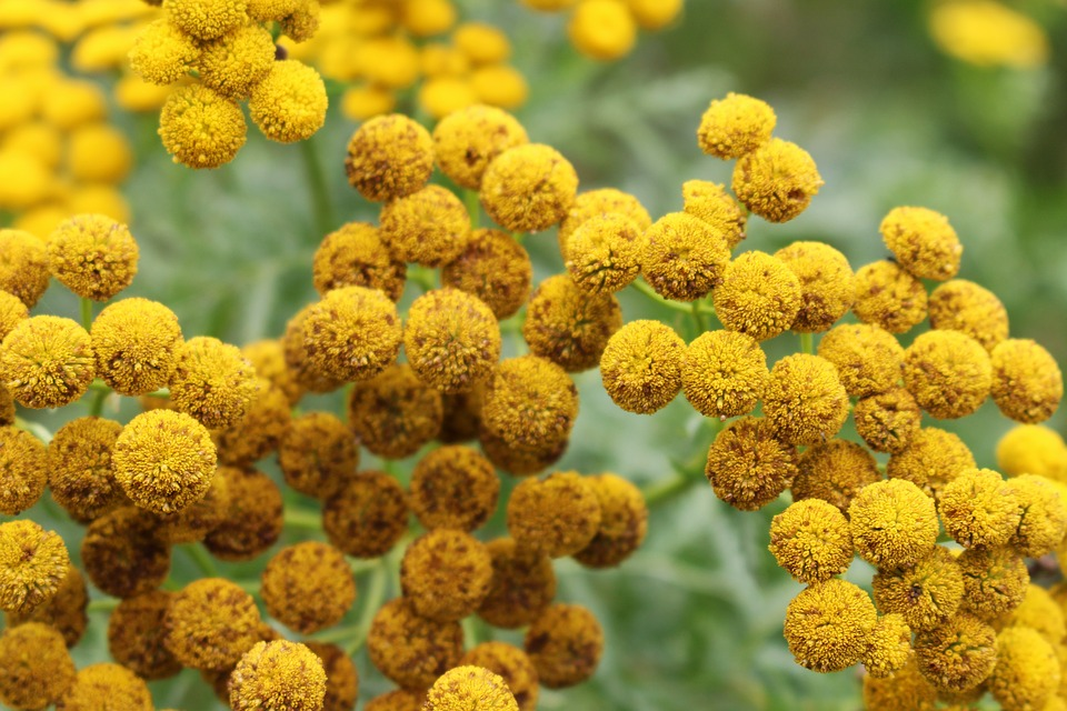 Tansy, Fern, Flower, Nature, Plant, Close, Flora