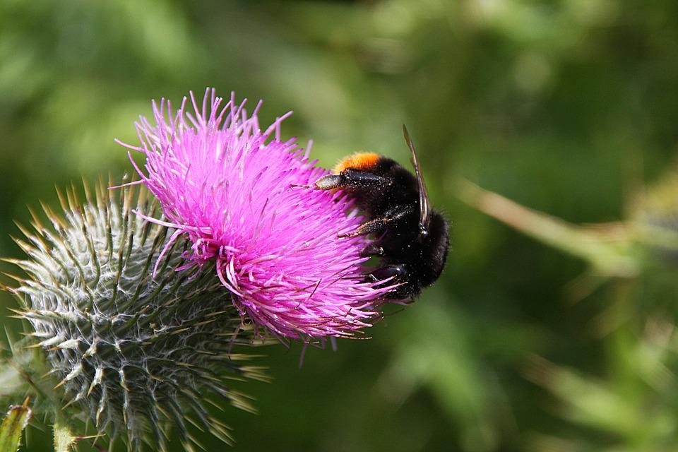 Thistle, Flower, Plant, Nature, Flora, Blossom, Bloom