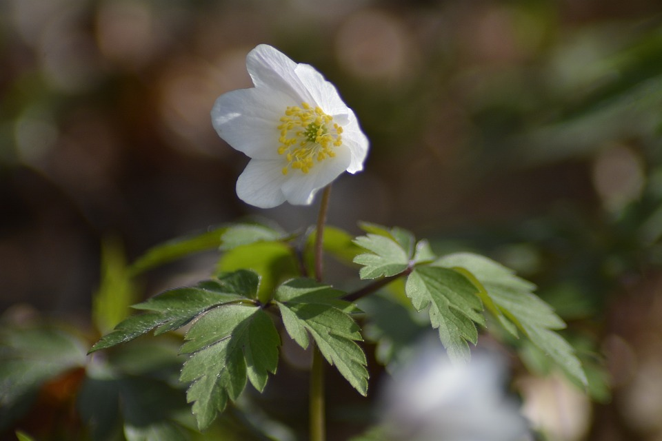 Nature, Plant, Flower, Wood Anemone, Forest, Spring