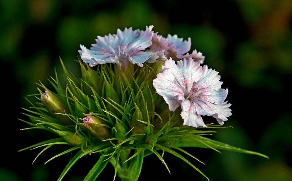 Gożdzik Stone, Flower, Closeup, Nature, Garden