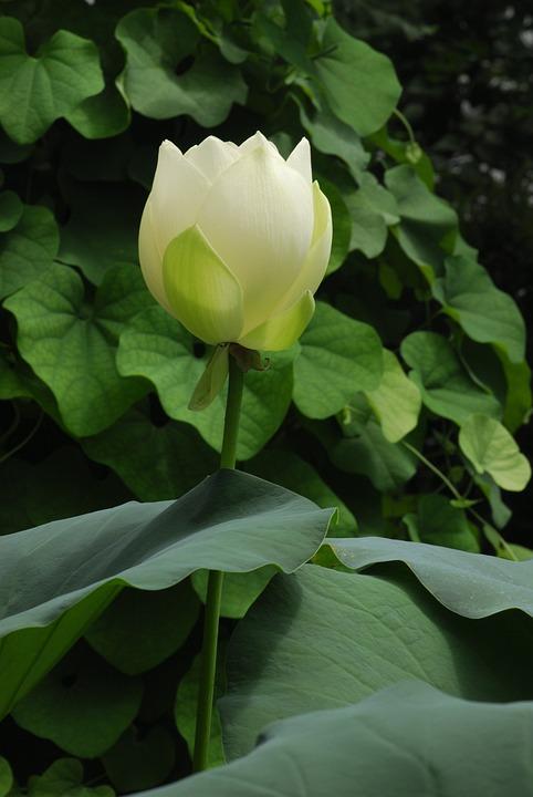 Plant, Leaf, Flower, Nature, Garden, Lotus