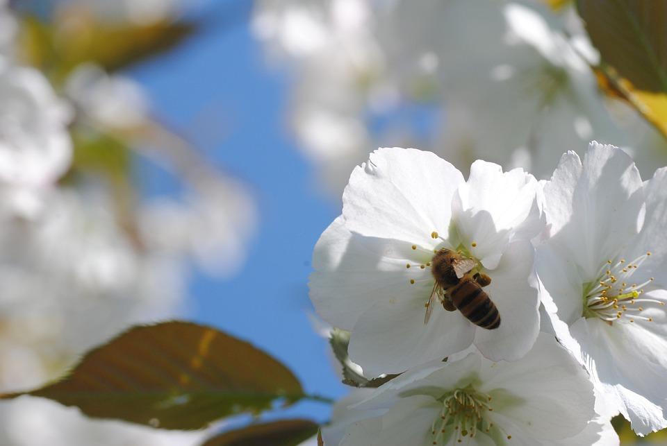 Bee, Cherry Blossom, Honey Bee, Nectar, Flower, Nature