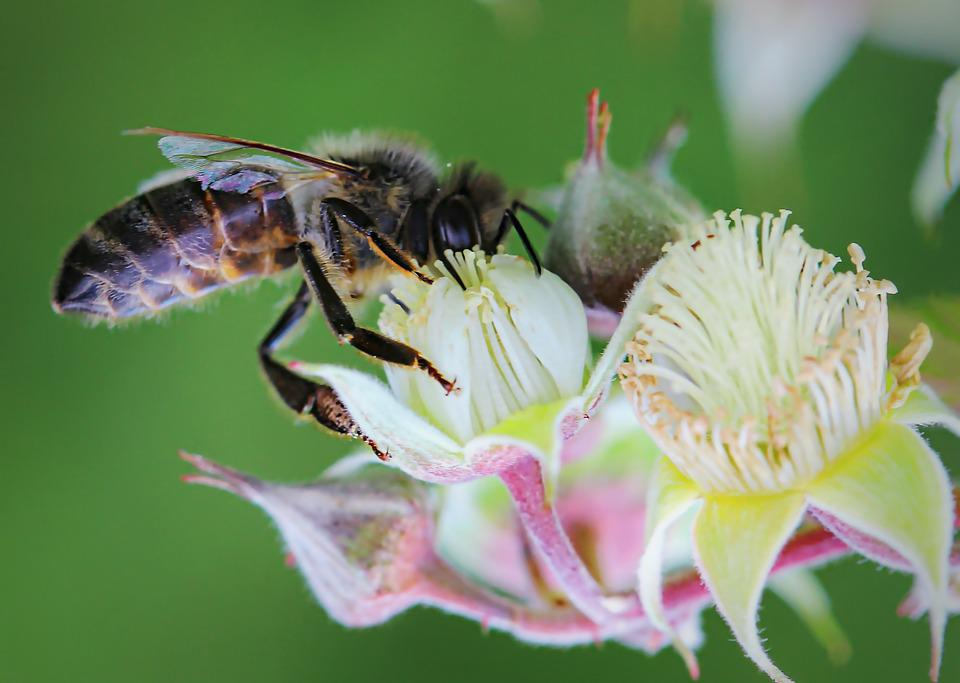 Bee, Flower, Bees, Insect, Macro, Flora, Summer, Nature