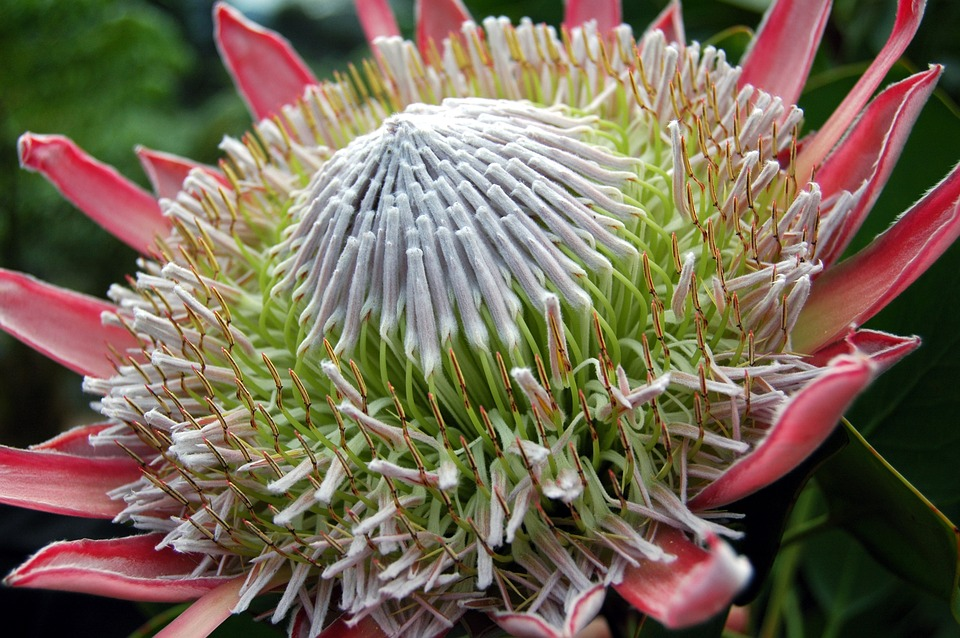 Flower, Blossom, Bloom, Close Up, Nature, King Protea
