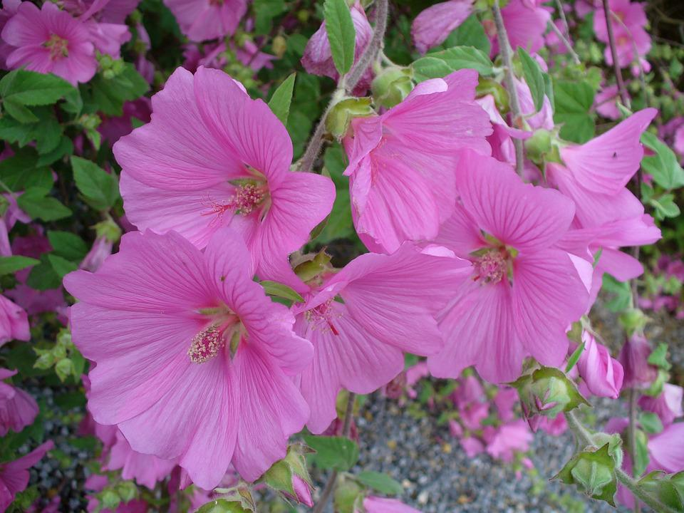 Mallow, Flower, Nature, Pink, Plant