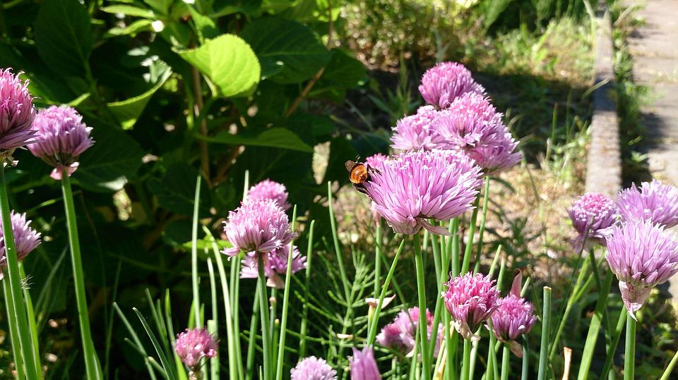 Bee, Chive, Summer, Nature, Wasp, Flower, Netherlands