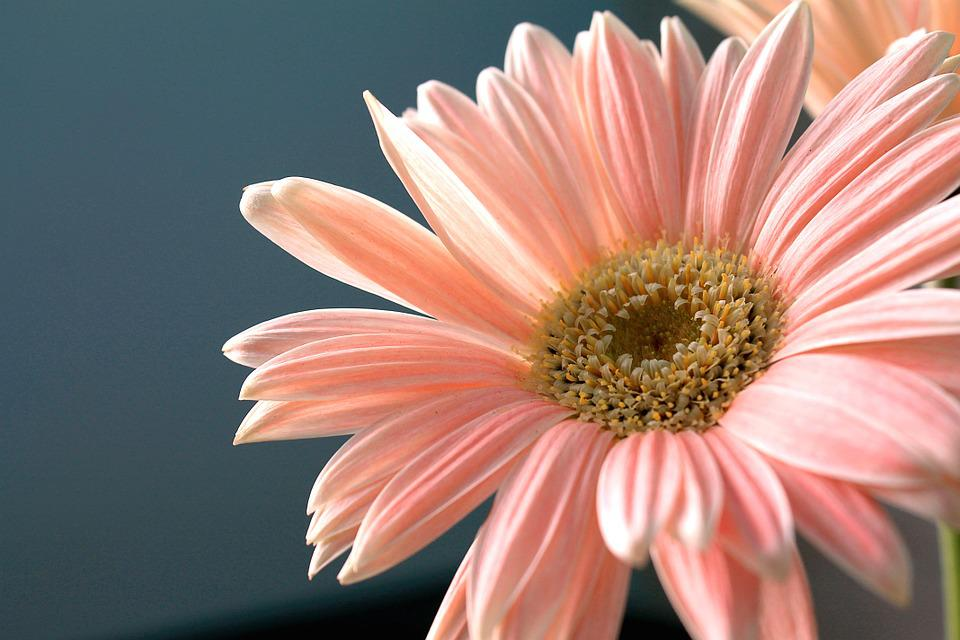 Gerbera Daisy, Flower, Plant, Nature, Ornamental