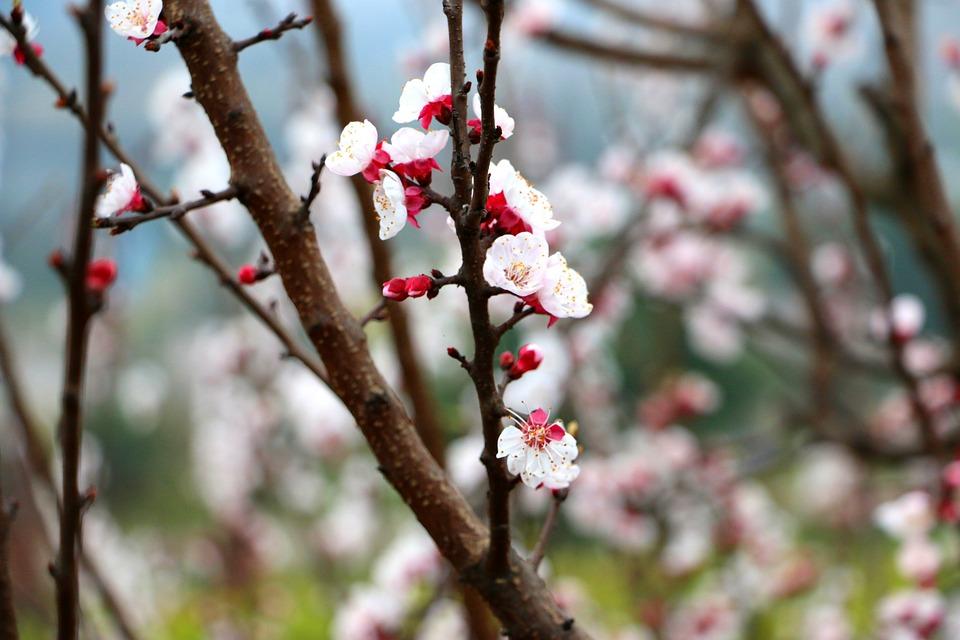 Flower, Peach Blossom, Spring, Nature