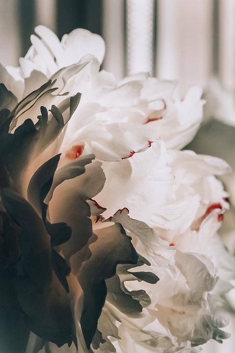 Flower, Peony, Flora, White, Nature, Summer