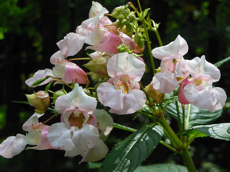 Impatiens Glandulifera, Flower, Nature, Pink Flower