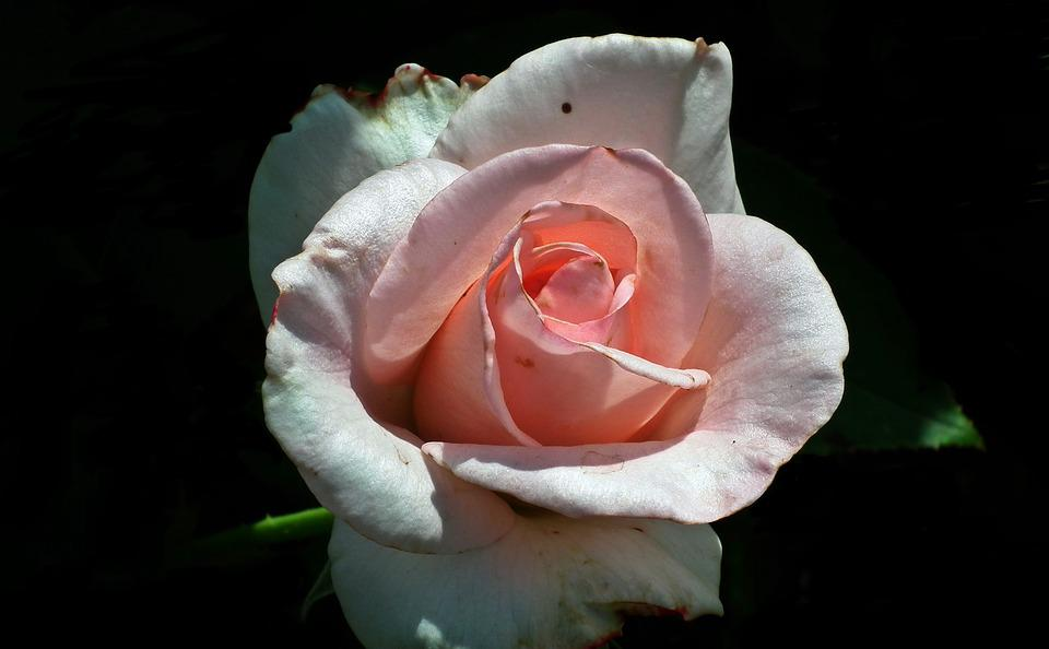 Rose, Flower, Petal, Love, Pink, Nature