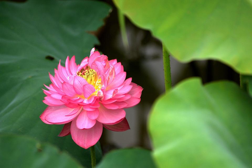 Nature, Plant, Leaf, Flower, Lotus, Pond, Peony Lotus