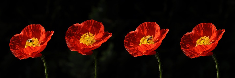 Poppy, Poppy Flower, Flower, Nature, Garden, Summer