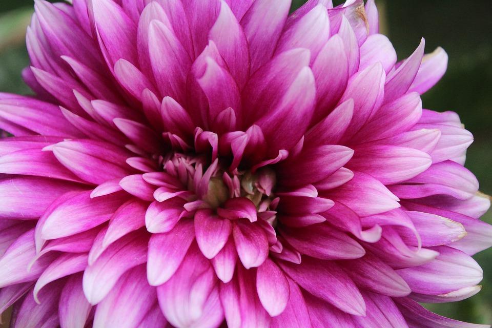 Flower, Chrysanthemum, Purple, Nature