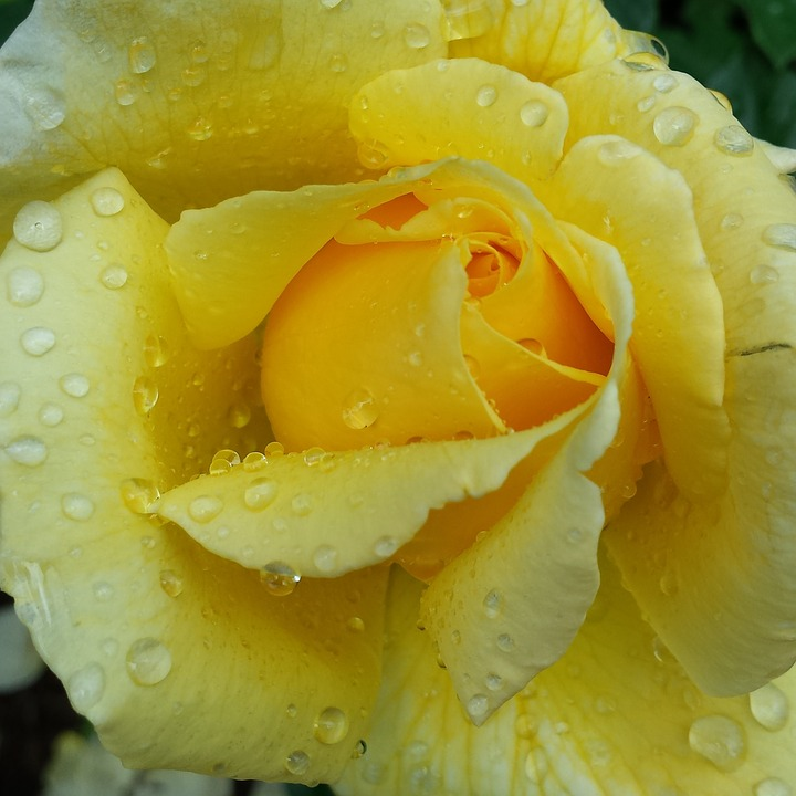 Rose, Yellow, Flower, Nature, Floral
