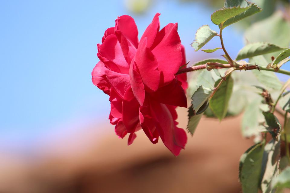 Flower, Red Rose, Rose, Nature, Pink Flower