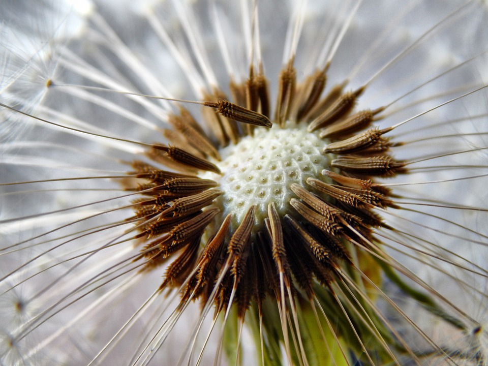 Dandelion, Seeds, Flower, Garden, Nature, Bed, Plants
