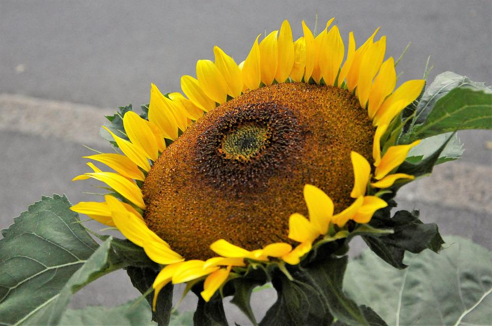 Sun Flower, Summer, Flower, Plant, Nature