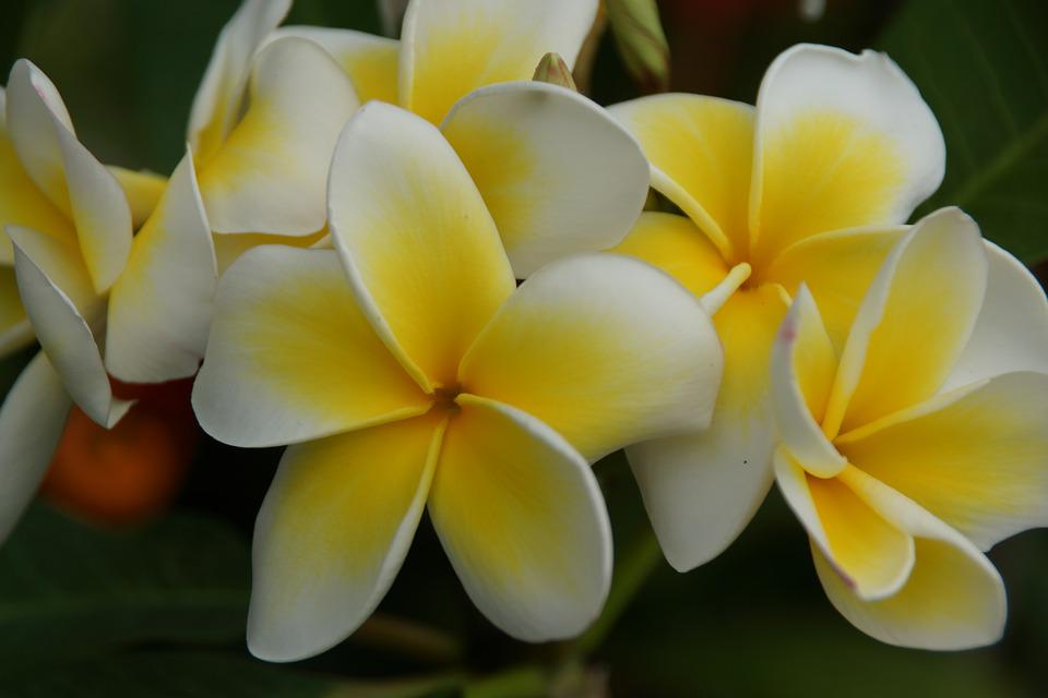 Flower, Tropical, Nature, Flora, Frangipani, Petal